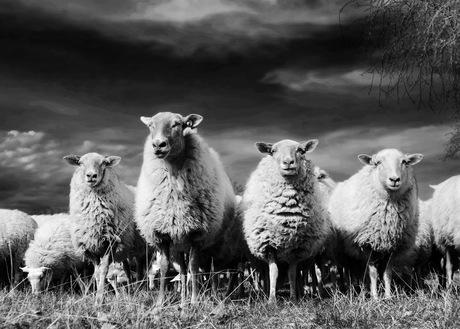 Deel van een kudde schapen op de Strabrechtse heide