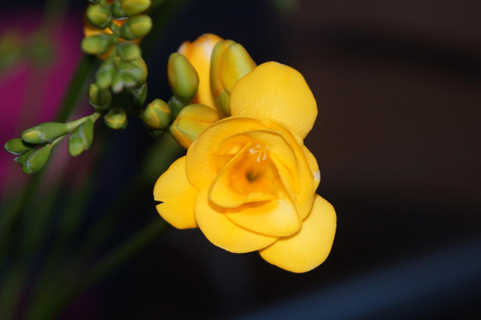 Fresia - .... - foto door Anneke1955 op 13-04-2021 - deze foto bevat: bloem, fabriek, bloemblaadje, terrestrische plant, pedicel, bloeiende plant, kruidachtige plant, macrofotografie, plant stam, wildflower