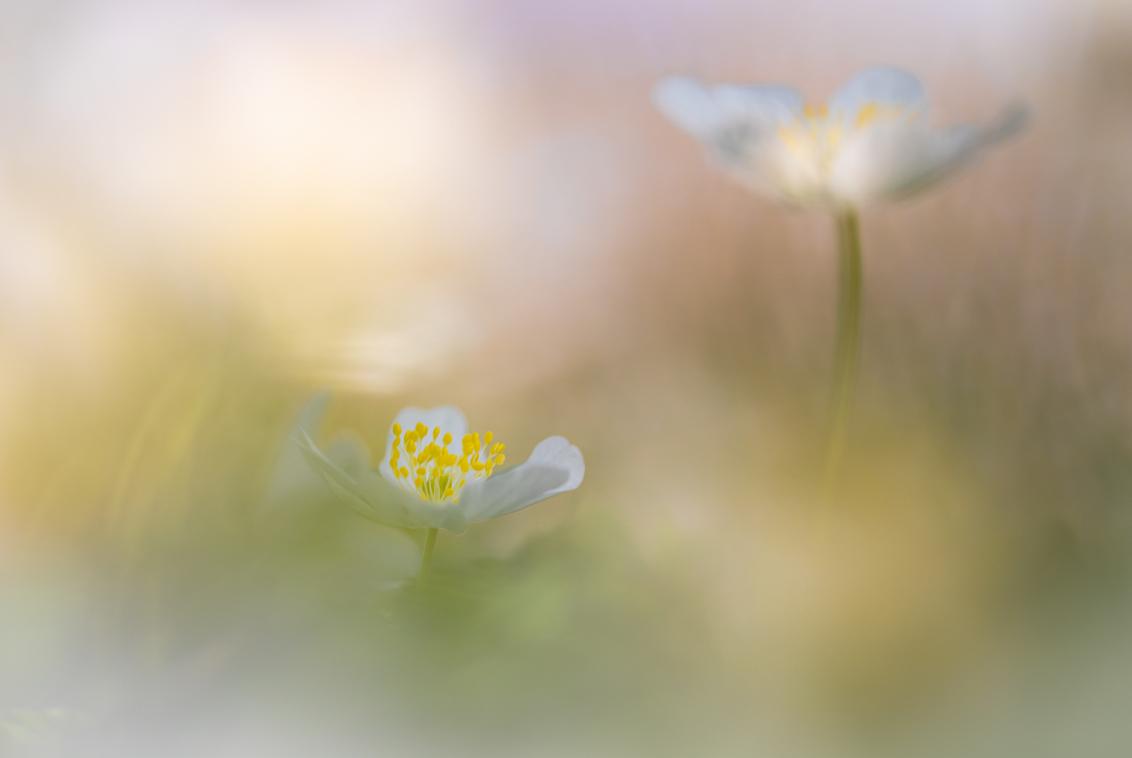 We have a lift off - Begin deze week voor het eerste keer van dit seizoen in de vrije natuur gefotografeerd met de macrolens. Het macroseizoen is van start gegaan. Dank v - foto door arjovandijk op 01-04-2021 - deze foto bevat: macro, bloem, lente, natuur, bosanemoon, anemoon, dof, bokeh, arjovandijk
