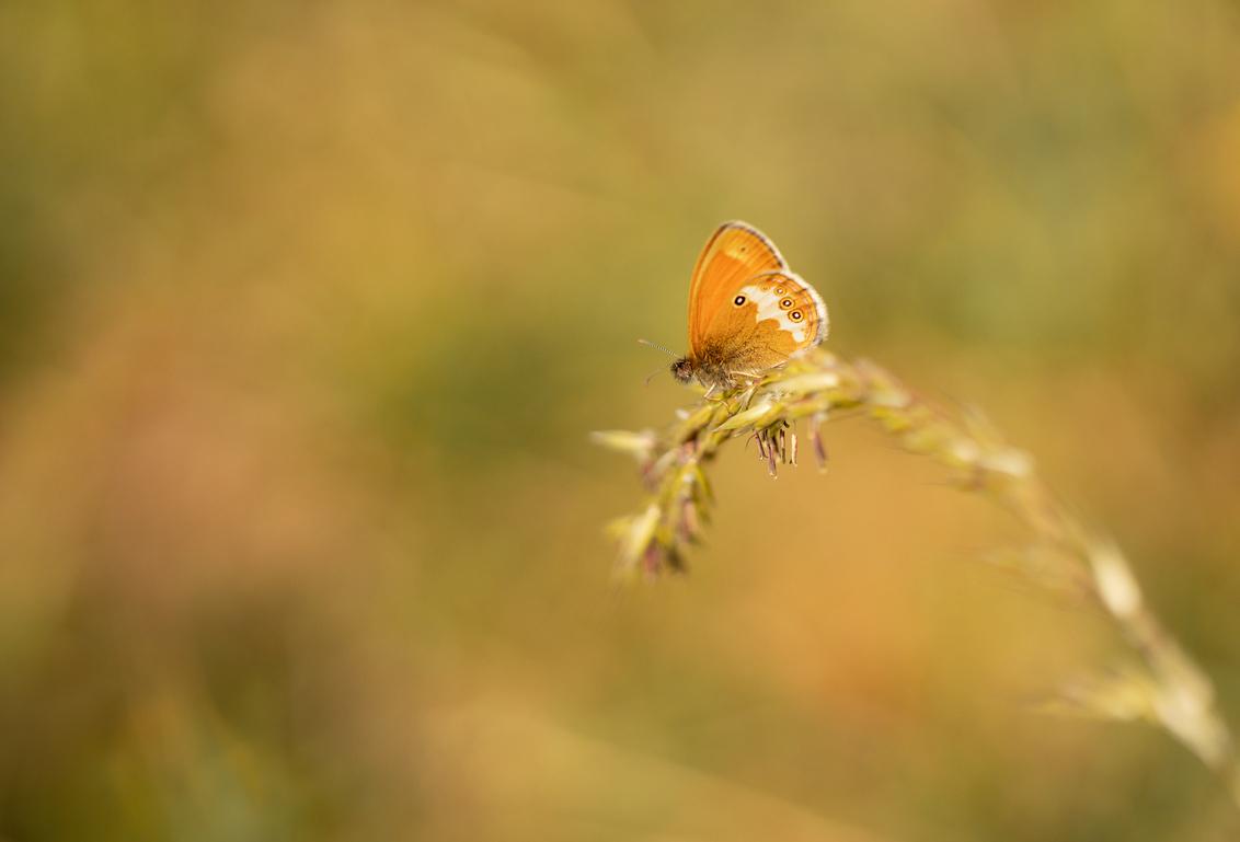 Tweekleurig hooibeestje....flash back (19) - Het tweekleurig hooibeestje is een prachtige maar tegelijk ook een lastige vlinder om vast te leggen. Weliswaar vaak in hoge aantallen aanwezig, maar - foto door franspelzer op 10-03-2021 - deze foto bevat: groen, macro, natuur, vlinder, oranje, zomer, insect, Tweekleurig Hooibeestje, franspelzer