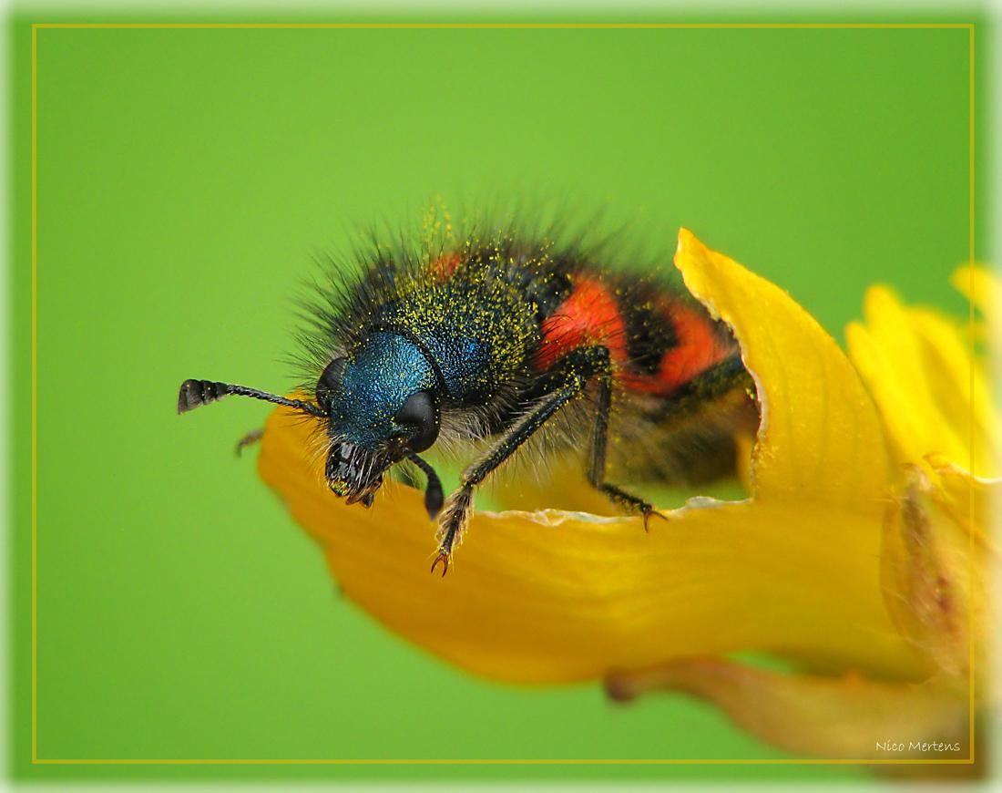 Bijenwolf!! - Hallo... voor zij die hem liever niet in een collage zien...:)...  mijn vorige upload was dus een collage van de bijenwolf, iedereen bedankt voor  - foto door smeagol op 20-05-2009 - deze foto bevat: macro, kever, bijenwolf, s5, smeagol, 250d
