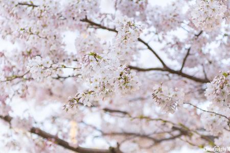 Bloesem - Bloesemboom - foto door MarnickP op 27-03-2017 - deze foto bevat: roze, lucht, kleur, boom, licht, zomer, bloesem, bokeh