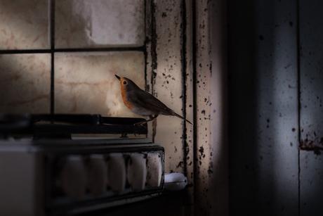 Hoe het roodborstje aan haar rode veren komt