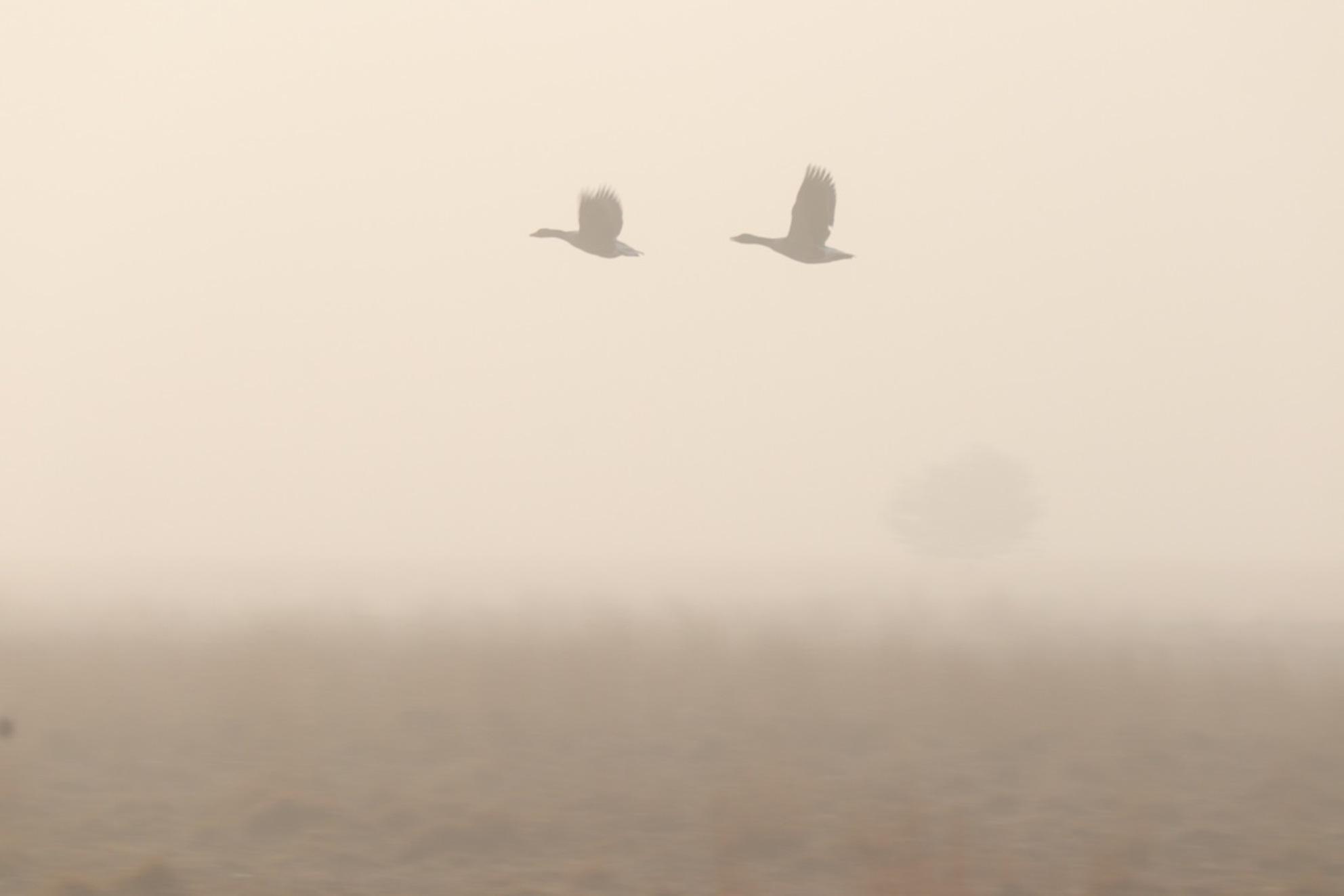 kampina ochtend mist 2 - kampina  in de ochtend met mist   . vliegen 2 gansen als silhouette door de lucht. - foto door paaltje op 28-02-2021 - deze foto bevat: lucht, mist, gans
