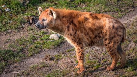 Hyena op de uitkijk - Hyena - foto door MigiloDiPilo op 13-03-2016 - deze foto bevat: rotterdam, dierentuin, dieren, hyena, blijdorp