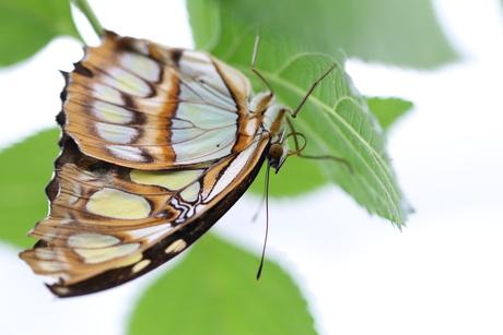 Malachietvlinder op de kop