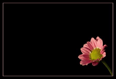 chrysantje