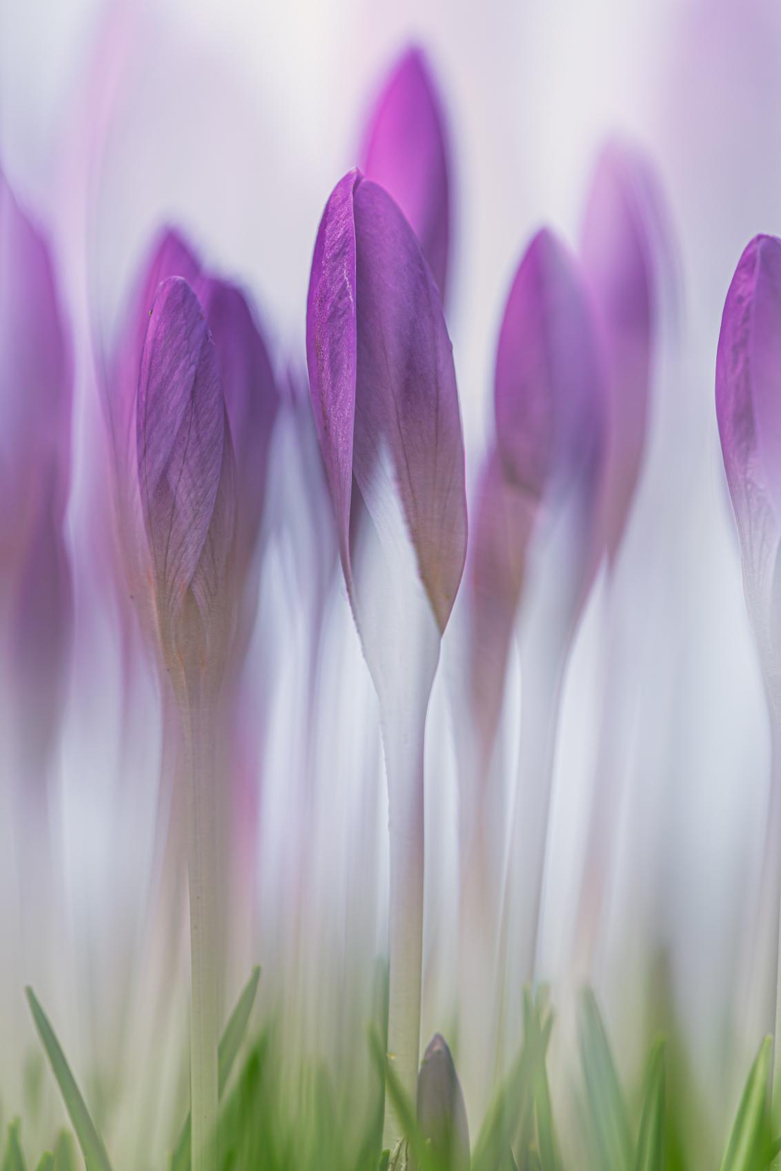 Crocus - - - foto door Juarna op 04-03-2021 - deze foto bevat: bloem, abstract, bewerking, sfeer, creatief, lightroom, nik