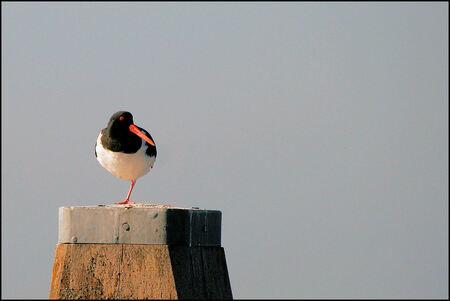 Rust en overzicht houden - Gisteren stond een Scholekster boven op een dukdalf van de rust en zon te genieten - foto door Teunis Haveman op 03-03-2021 - deze foto bevat: dieren, vogel