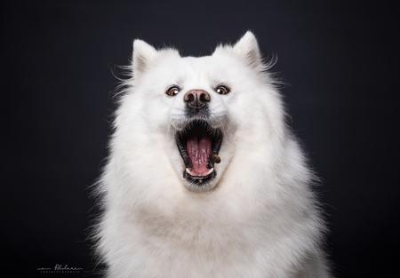 Maluk - Humoristisch portret van een Samoyeed die wat lekkers vangt - foto door foscofotografie op 20-04-2021 - locatie: Waalwijk, Nederland - deze foto bevat: hond, honden, samoyeed, schattig, grappig, dieren, dier, dierenfotografie, hondenfotografie, portret, studio, studiofotografie, flitslicht, flitsen, humor, canon, godox, iris, bakkebaarden, carnivoor, snuit, detailopname, hoektand, evenement, vacht, magenta, duisternis