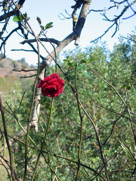 Eenzame roos.