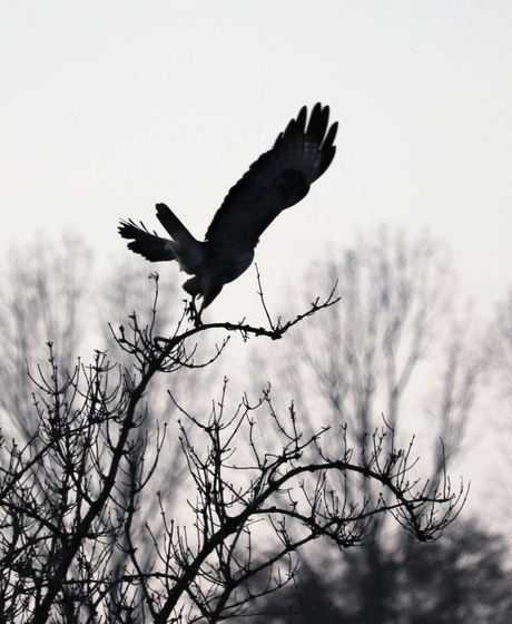 Silhouet roofvogel