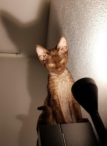 Ziet u mij - Devon rex kitten Zoana - foto door schaiky op 25-01-2021 - deze foto bevat: kitten, poes, dieren, huisdier, kat, jong