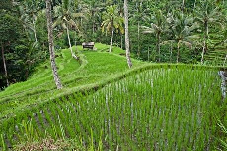 Riceterrace, Ubud