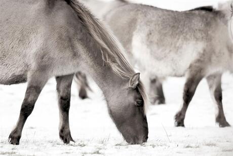 Koninkpaard
