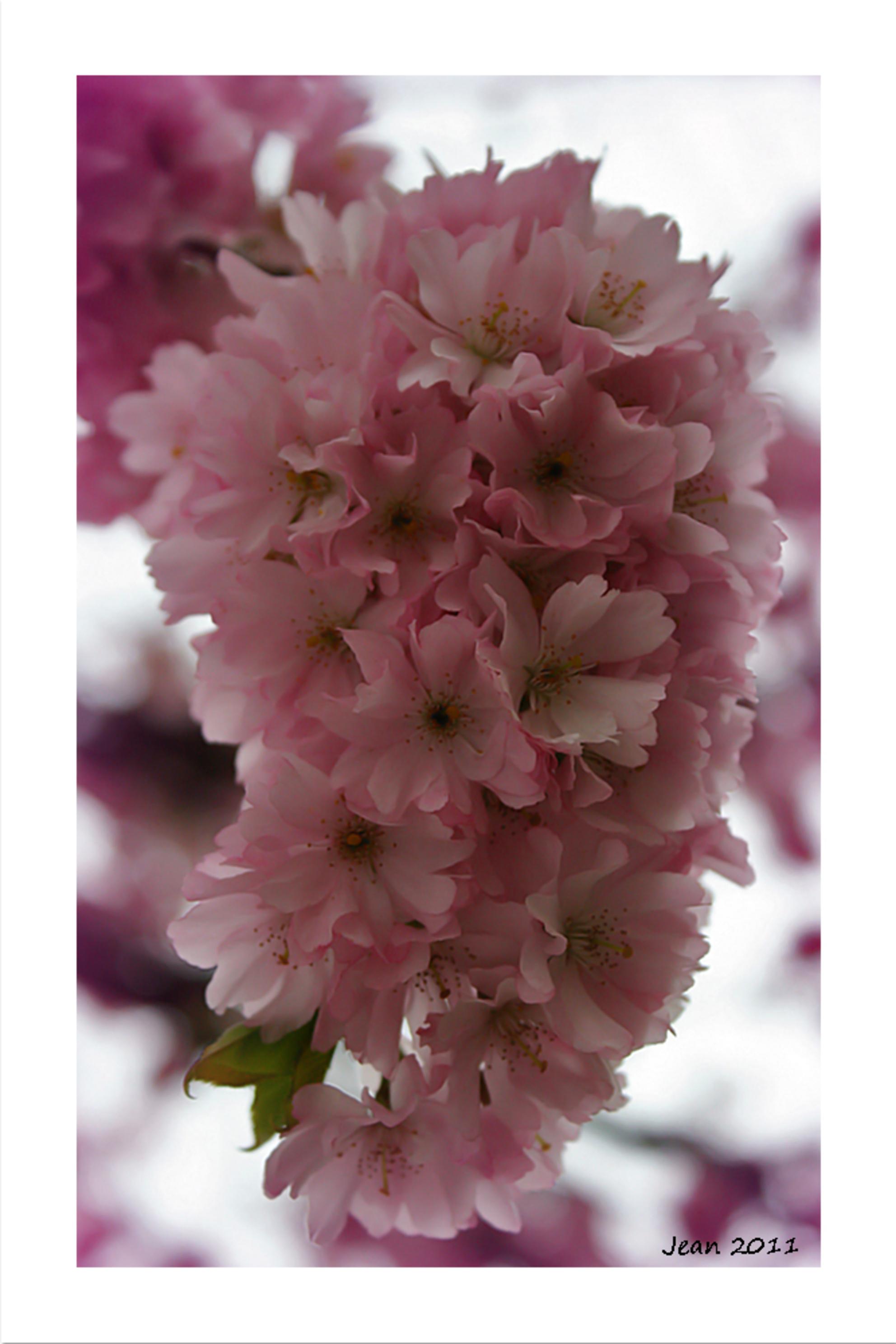 Fleur rose (Prunus) - Al een paar keer eerder een stukje van de prunus geplaatst. Maar hier weer een andere compo, en met tegenlicht :). - foto door Damarofoto op 15-05-2011 - deze foto bevat: roze, lente, prunus, rose, voorjaar, bloesem, jean