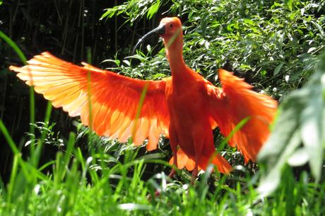 rode ibis