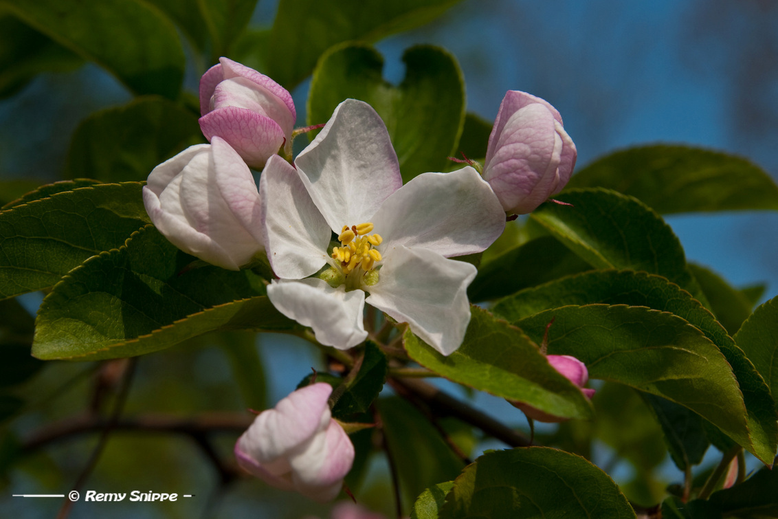 Appelbloesem - Appelbloesem van ons sierappeltje in de tuin! Het is een prachtig gezicht! - foto door Snoppie op 18-04-2011 - deze foto bevat: voorjaar, bloesem, appelboom