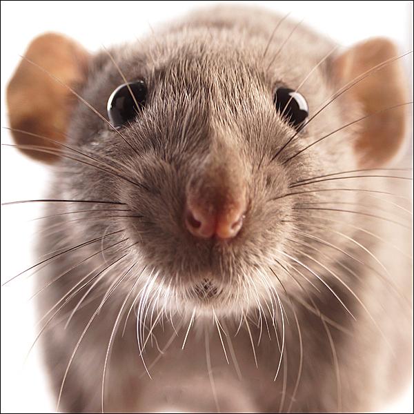 Charlie - Afgelopen zondag heb ik voor het eerst een tam ratje voor de lens gehad. - foto door Silky op 04-06-2012 - deze foto bevat: huisdier, knaagdier, rat, tam