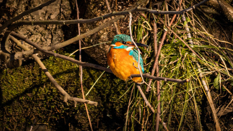 Chilling Kingfisher