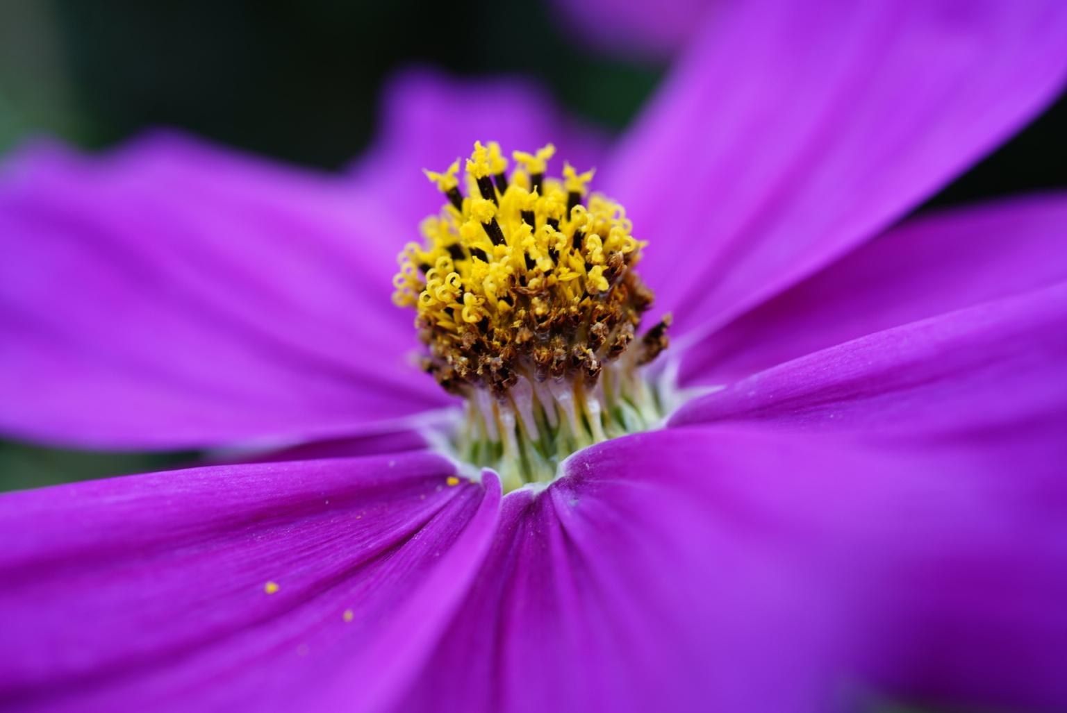 Cosmea  - Macro opname van een cosmos bloem - foto door Frenk2021 op 16-04-2021 - locatie: Veldhoven, Nederland - deze foto bevat: bloemen, cosmea, macro, bloem, fabriek, purper, lucht, bloemblaadje, paars, magenta, bloeiende plant, eenjarige plant, kosmos