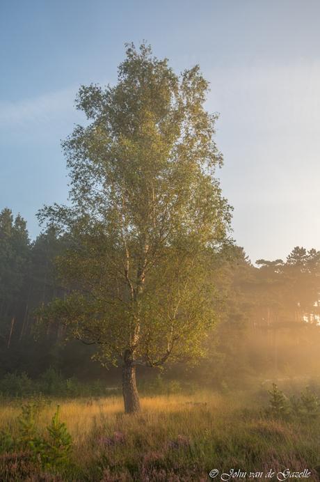 Berk op de heide tijdens de zonsopkomst
