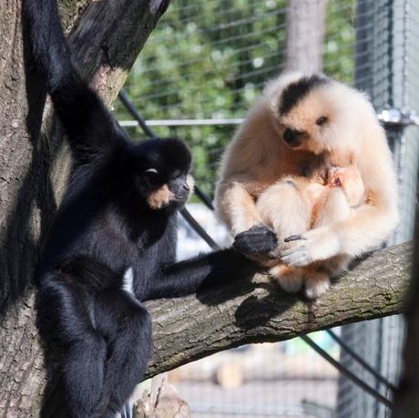Happy gibbon family