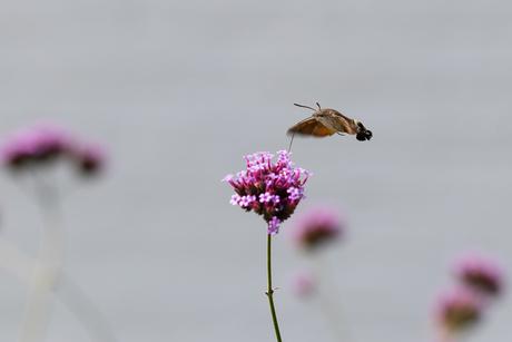 Kolibrievlinder in tuin