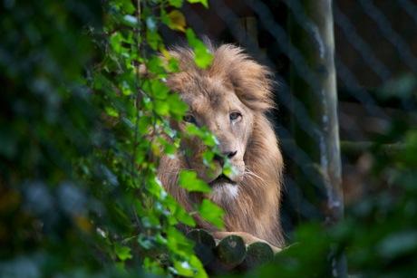 Pas op de leeuw