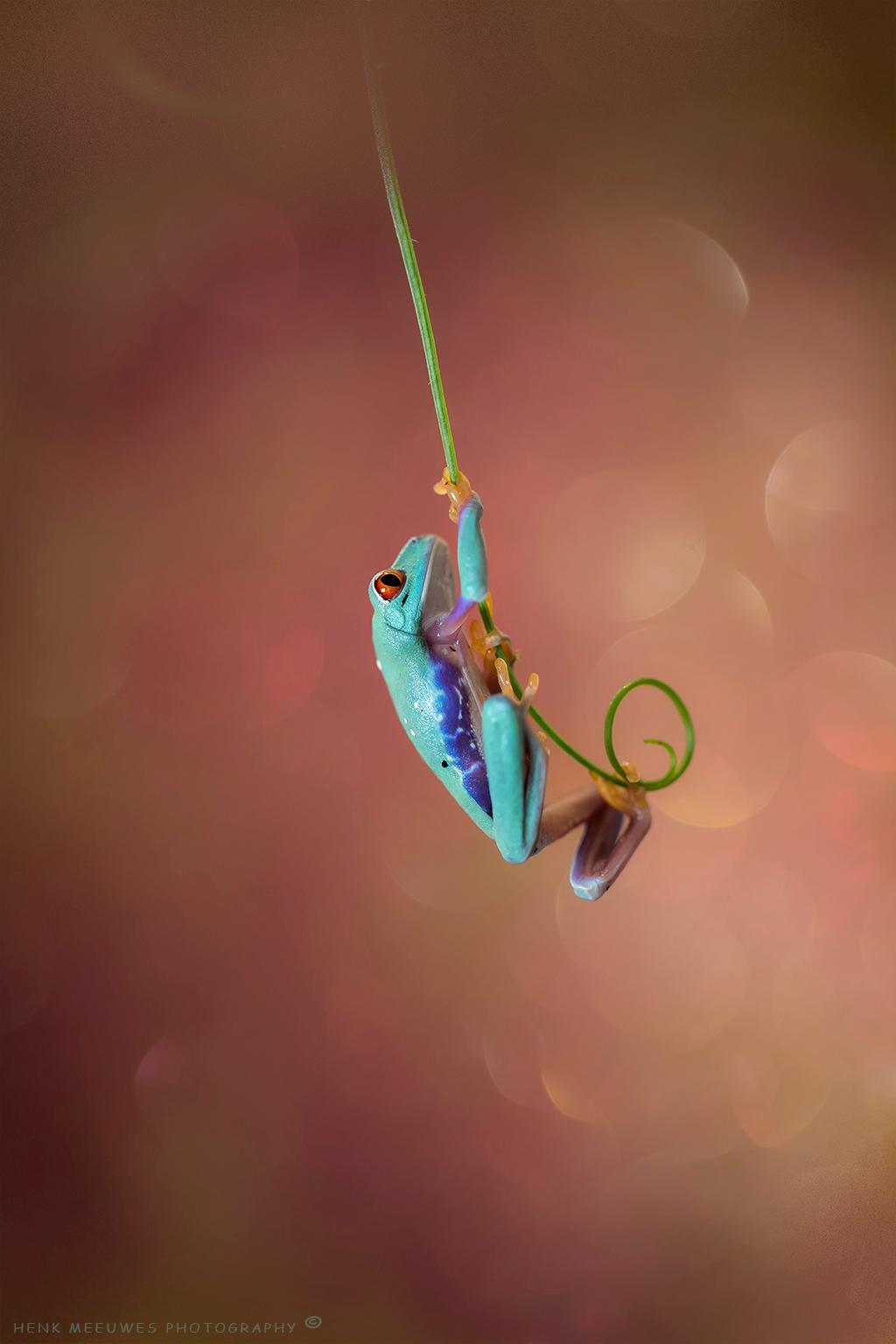 Me Tarzan - Het wordt steeds gekker in het paludarium met boomkikkers. Er is er al eentje die denk dat hij Tarzan is!  De kreet, die ontbreekt gelukkig nog ;- - foto door h.meeuwes op 27-04-2018 - deze foto bevat: rood, macro, kikker, oog, actie, klimmen, tarzan, zweven, dof, boomkikker, bokeh, paludarium, slingeren, 2.8, groot diafragma, roodoogmaki, henk meeuwes