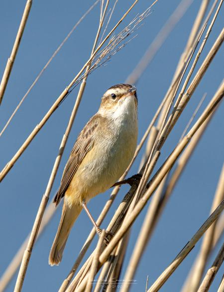 Rietzanger - - - foto door Hendrik1986 op 23-04-2020 - deze foto bevat: vogel, riet, wildlife, zangvogel