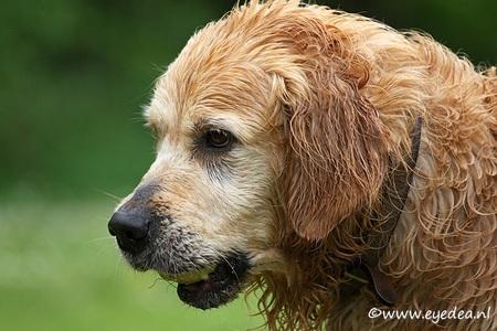 Baloo de GR - - - foto door Anita Eye Dea op 10-01-2009 - deze foto bevat: water, huisdier, hond, golden, eye, buiten, retriever, anita, dea