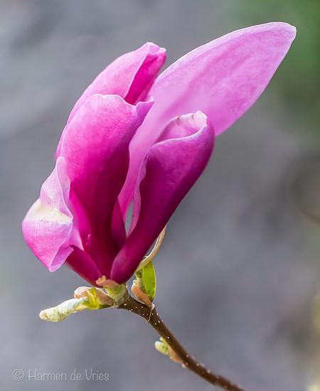 Magnolia in bloei - Focusstack (uit de hand van vier foto's) van een bloem van de Magnolia, bewerkt in Lightroom Classic.   camera: Nikon D5500 objectief: AF-S micro Nik - foto door hjdevries op 17-04-2021 - deze foto bevat: natuur, magnolia, bloem, bloemen, lente, bloei, focusstacking, voorjaar, bloesem, bloem, fabriek, bloemblaadje, kruidachtige plant, takje, pedicel, bloesem, magenta, bloeiende plant, bod