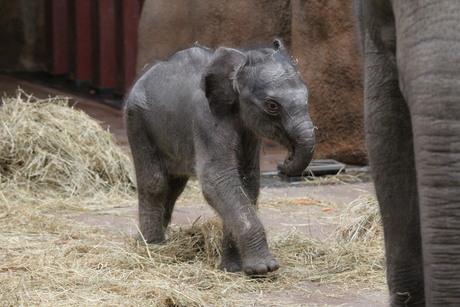 het naamloze olifantje in blijdorp 6 dagen oud