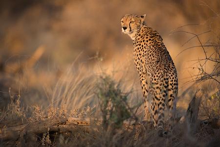 Golden Dawn - Net weer een UPDATE gekregen van TUI over de fotosafari's 2017. Ook de reis 'Migratie en Meren van de Grote Rift' zit nu officieel helemaal VOL!  V - foto door IngridVekemans op 21-12-2016 - deze foto bevat: natuur, dieren, safari, kat, afrika, wildlife, jachtluipaard, cheetah, kenia, samburu, fotoreis, fotoreizen, fotosafari