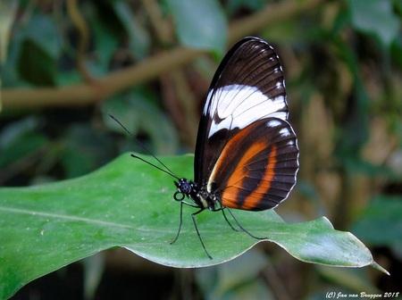 Heliconius Cydno.. - Heliconius cydno is een vlinder uit de familie Nymphalidae. De soort komt voor van Colombia en Ecuador tot in Mexico.  De vrouwtjesvlinders leggen  - foto door Redfox16 op 16-03-2018 - deze foto bevat: vlinder, dieren, vlindertuin, Heliconius cydno, jvbfotografie.nl, vlindersadvliet