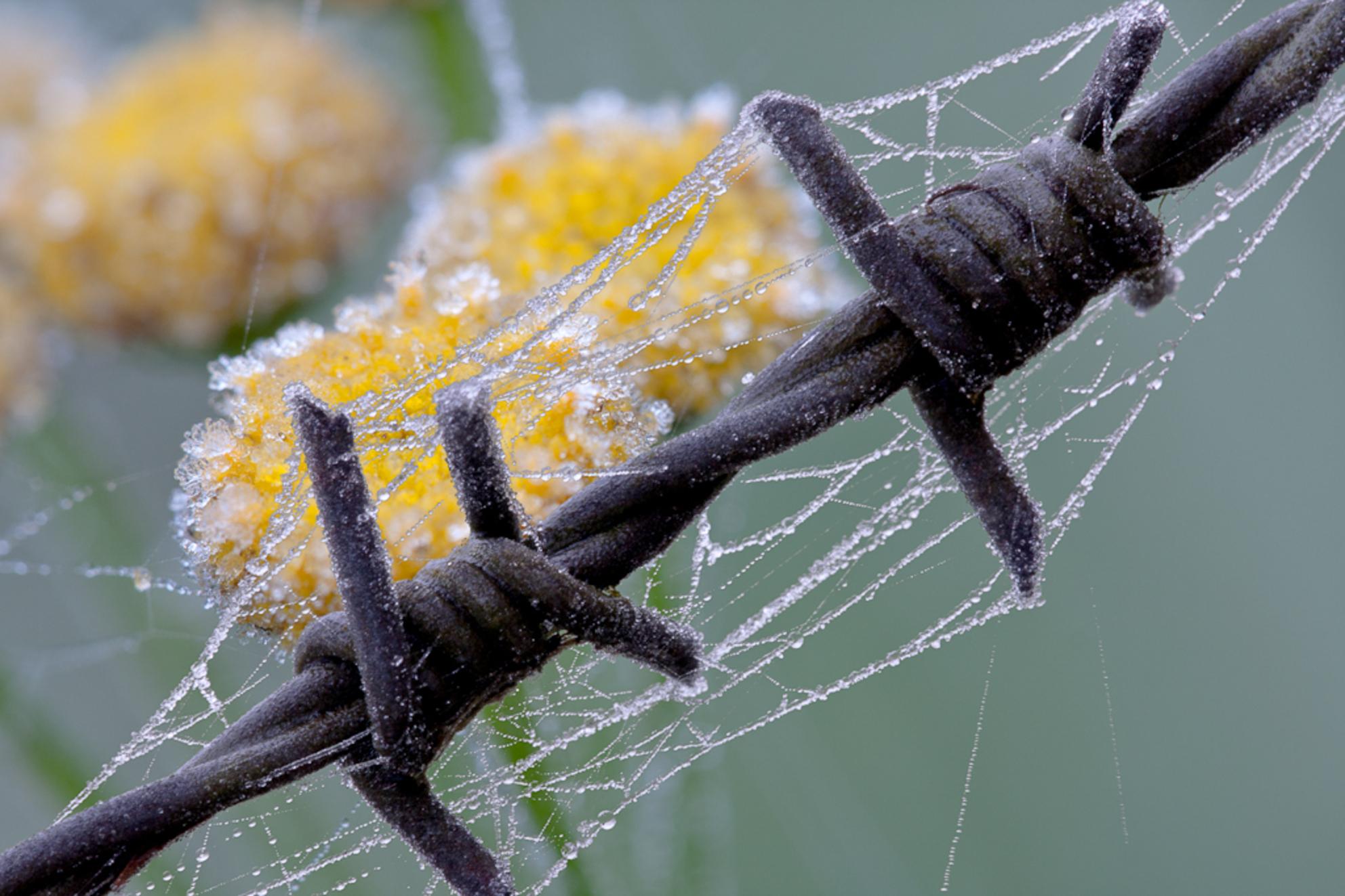 """Prikkelend - Dezelfde condities als bij mijn vorige upload """"frozen dreams"""", echter in een geheel andere setting. - foto door oostindienjp op 21-11-2011 - deze foto bevat: geel, rijp, druppels, vorst, prikkeldraad, dauw, bevroren, ijskristallen"""
