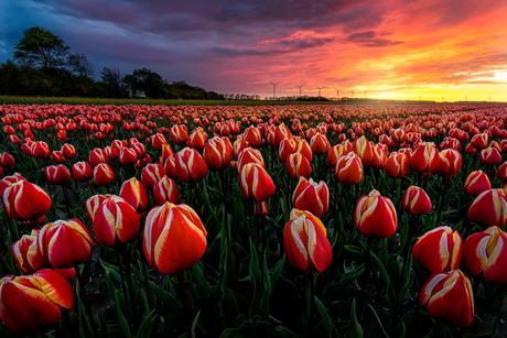 Amazing tulip sunset