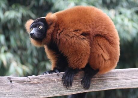 Lemur aap