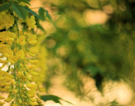 Goudenregen