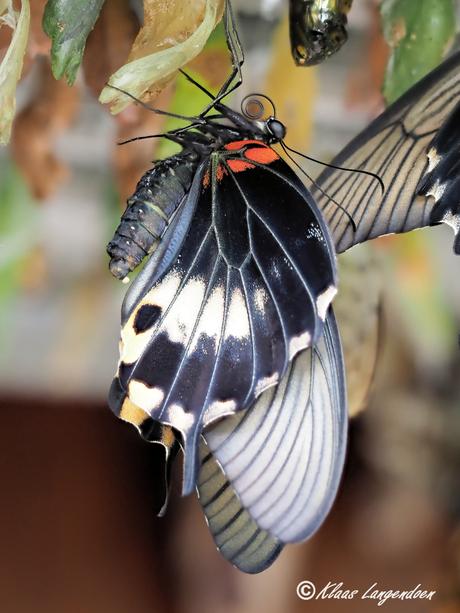 Papilio lowii in ruste