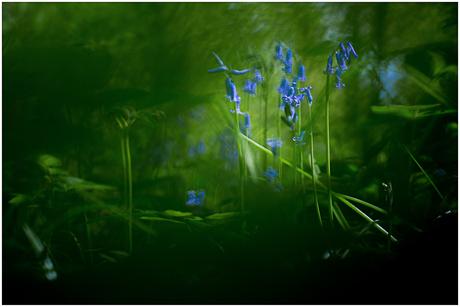 Bluebell Fairytale