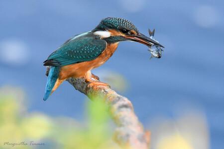 Ijsvogel met vis - - - foto door margrietha-timmer op 28-07-2020 - deze foto bevat: water, vogel, vis, ijsvogel