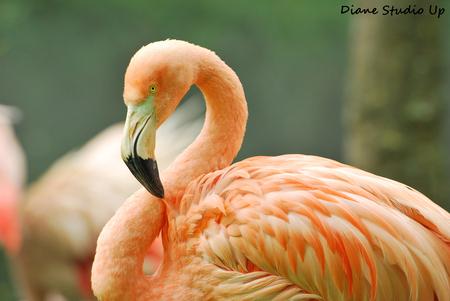 Flamingo - Wat een prachtdier toch...  16-06-2013 - foto door DianeStudioUp op 24-06-2013 - deze foto bevat: flamingo, up, nikon, studio, aqua, zoo, friesland, diane, d60, dsu