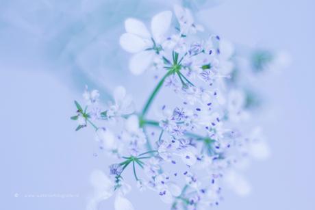 Flowers of the coriander, bloempjes van de koriander