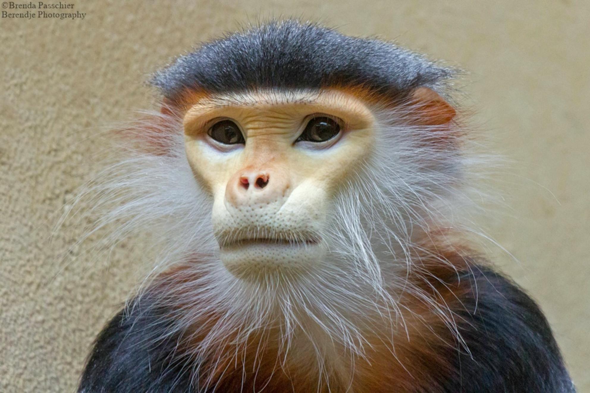 Douc langoer - Special voor deze bijzondere aap naar de dierentuin in Keulen geweest. De Douc langoer. - foto door berendje_zoom op 14-05-2015 - deze foto bevat: dierentuin, natuur, dieren, safari, aap - Deze foto mag gebruikt worden in een Zoom.nl publicatie