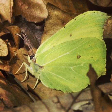 Citroen vlinder 🦋