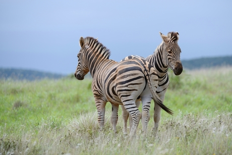 zebra cx 52.jpg