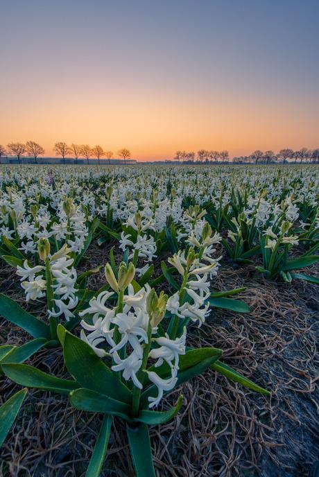 Hyacinten veld