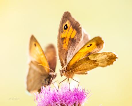 Vlinder - Distelbloem